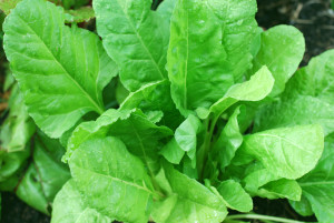 healthy-spinach-plant